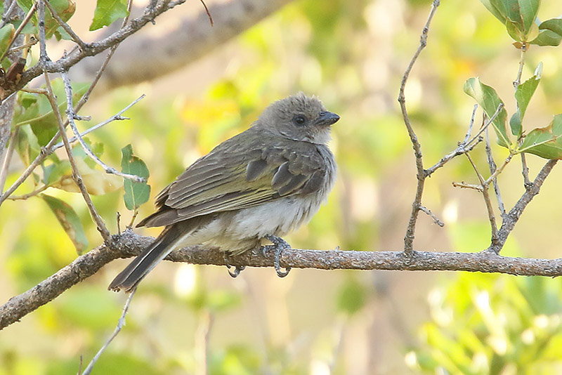 Lesser Honeyguide by Mick Dryden
