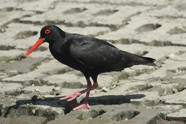 African Black Oystercatcher by Mick Dryden