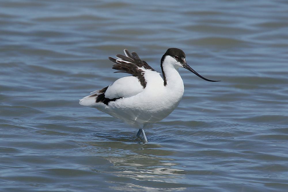 Avocet by Mick Dryden