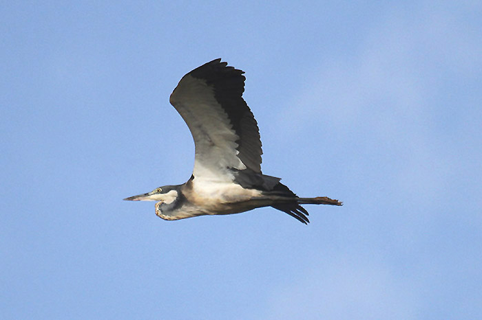 Black-headed Heron by Mick Dryden