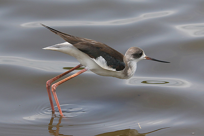 Black-winged Stilt by Mick Dryden