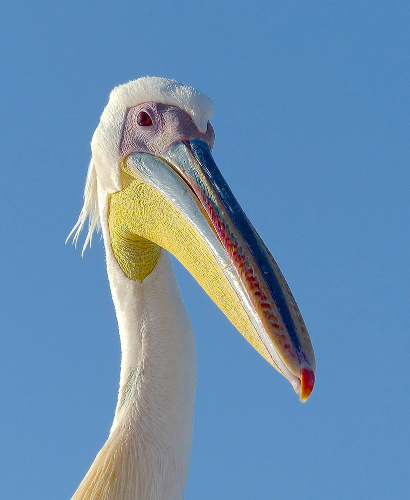 Great White Pelican by Rod Amy