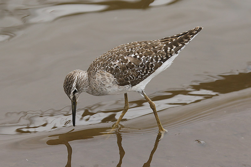 Wood Sandpiper by Mick Dryden