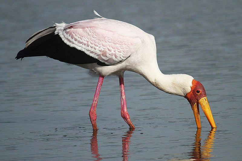 Yellow-billed Stork by Mick Dryden