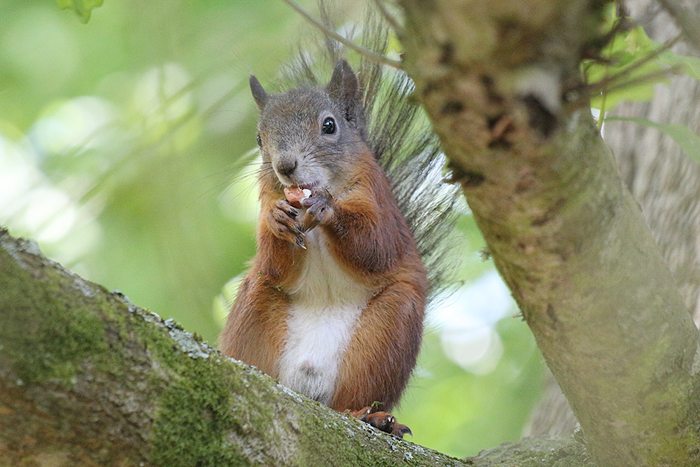 Red Squirrel by Keith Pyman