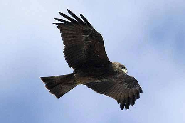 Black Kite by Mick Dryden