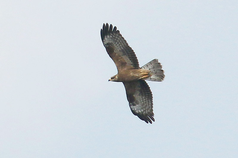 Honey Buzzard by Mick Dryden