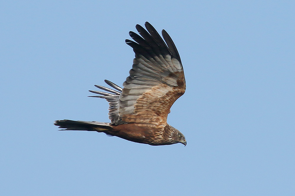 Marsh Harrier by Mick Dryden