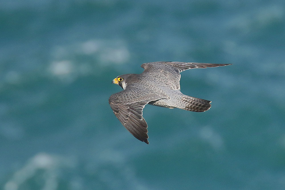 Peregrine by Mick Dryden