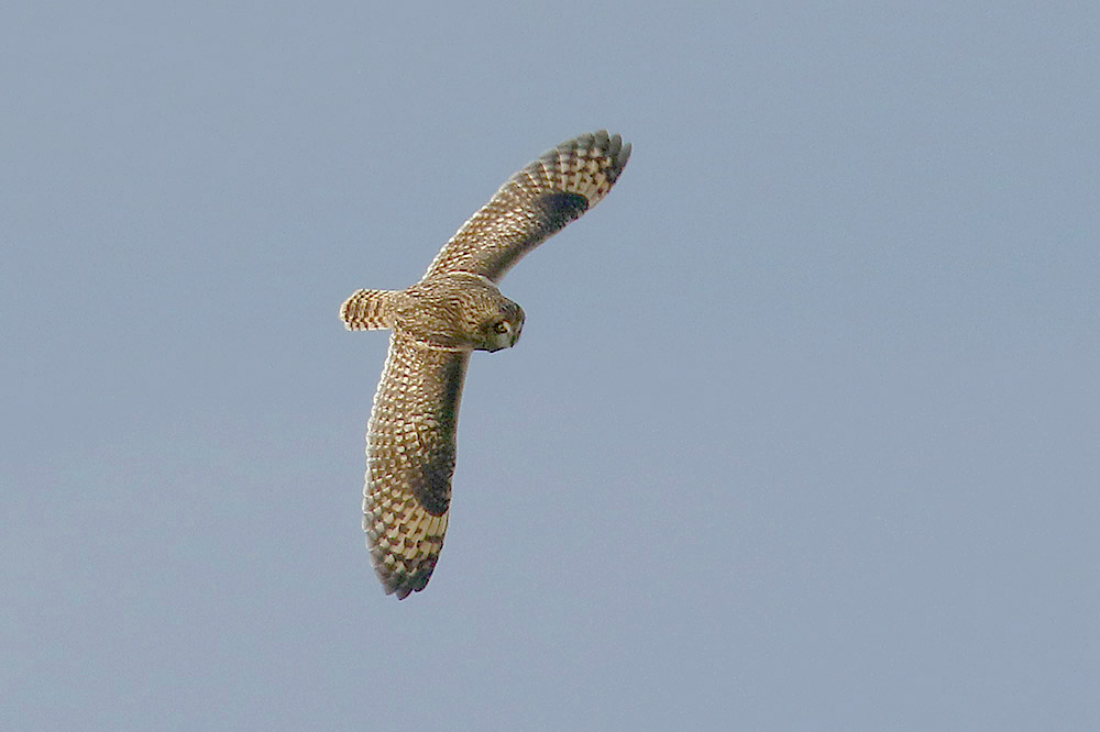 Short eared Owl by Mick Dryden