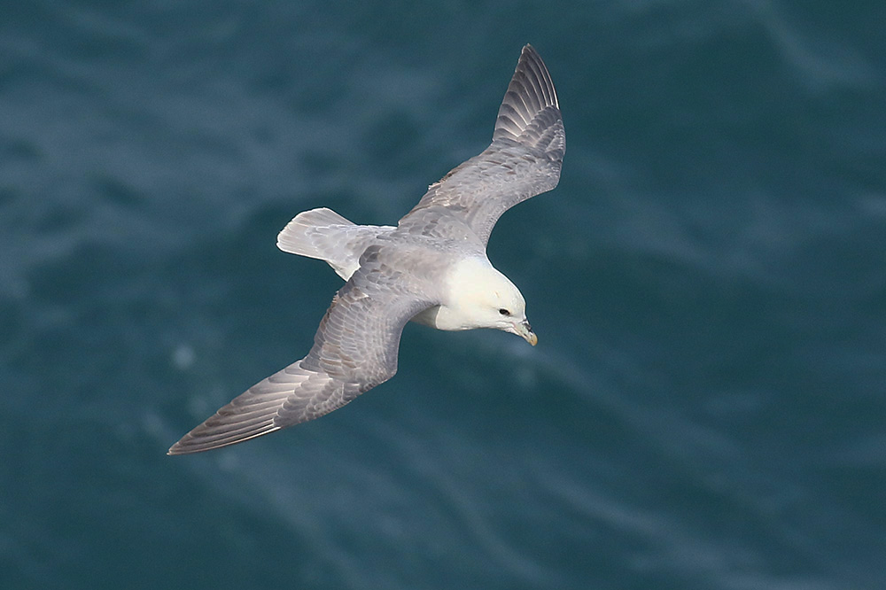 Fulmar by Mick Dryden