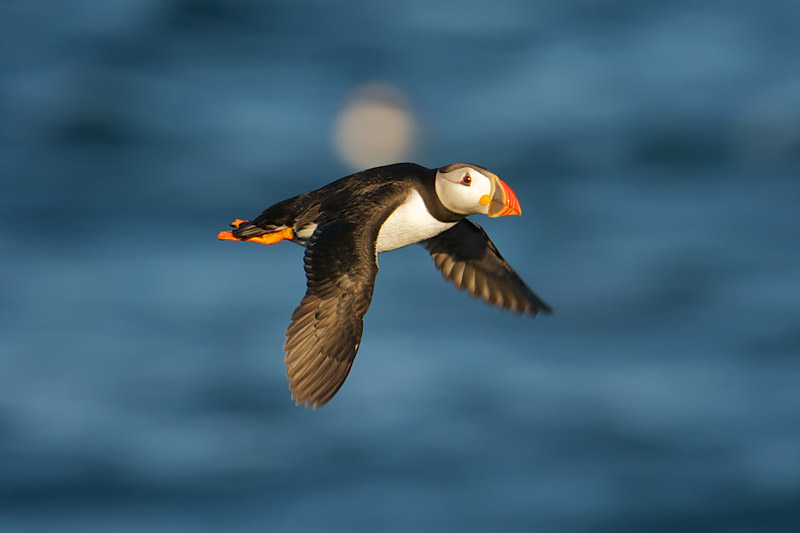Puffin by Paul Marshall