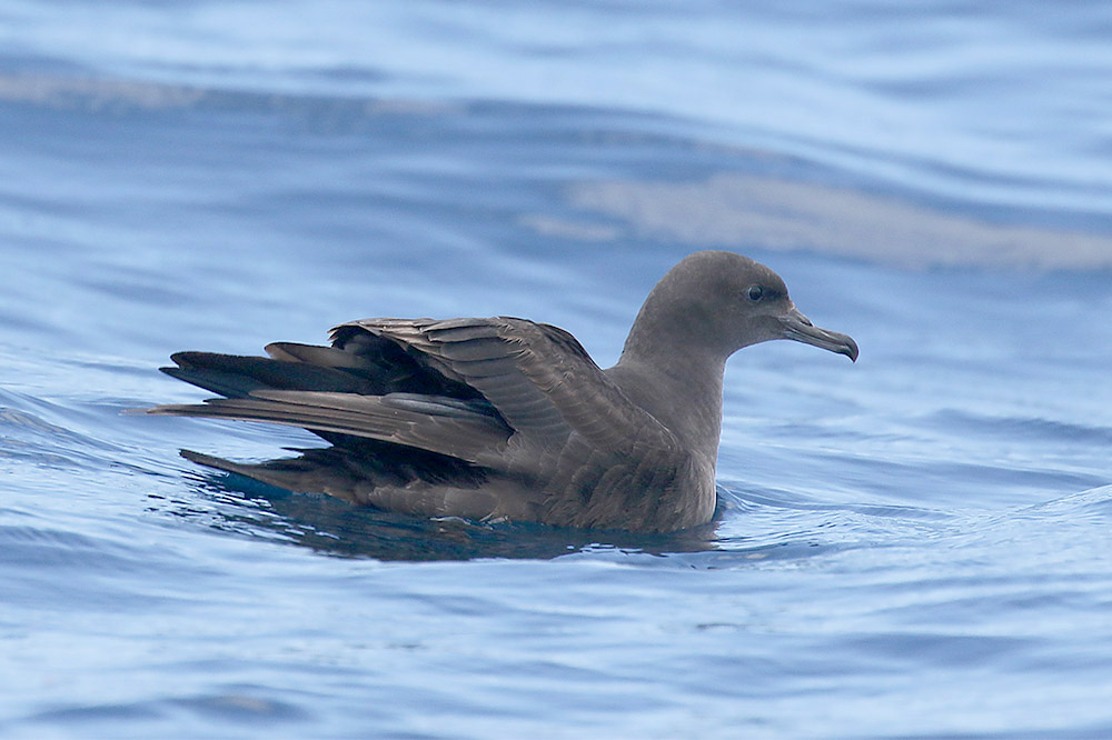 Sooty Shearwater by Mick Dryden