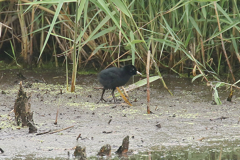 Water Rail by Mick Dryden