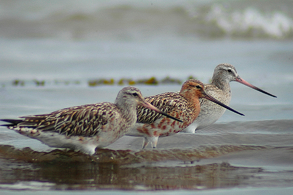 Bar tailed Godwits by Romano da Costa
