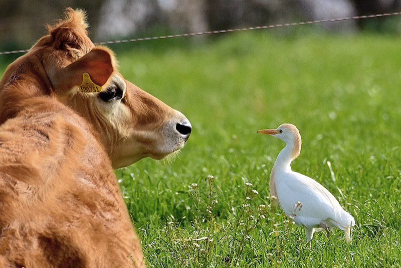 Cattle Egret by Alan Gicquel