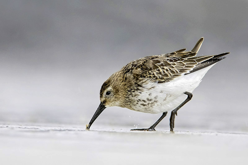 Dunlin by Romano da Costa