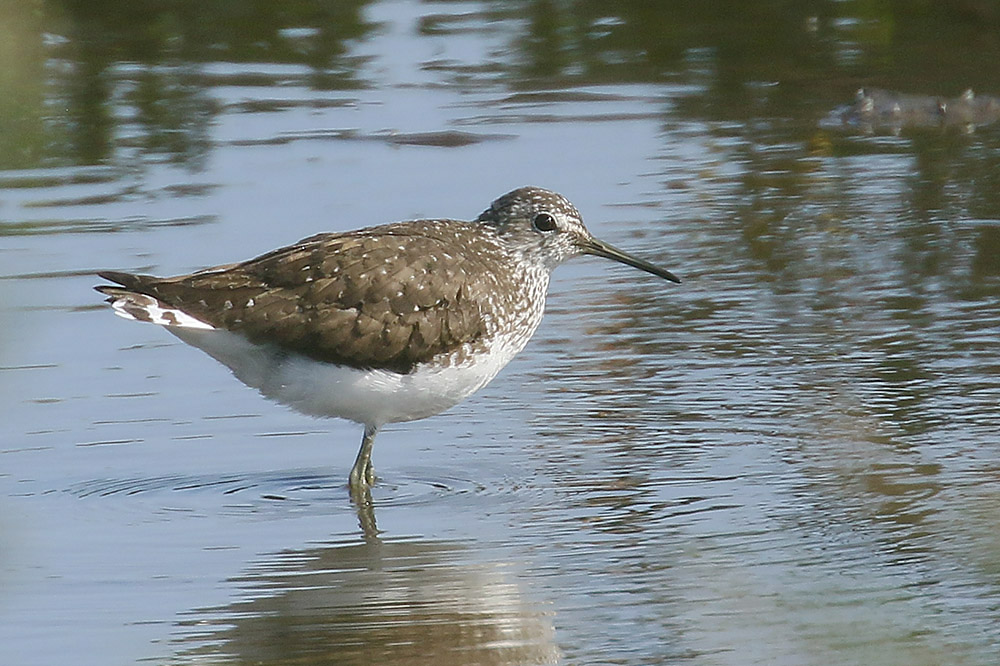 Green Sandpiper by Mick Dryden
