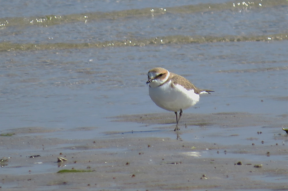 Kentish Plover by Alan Gicquel