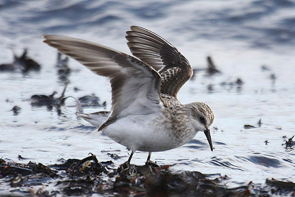 Little Stint by MIck Dryden