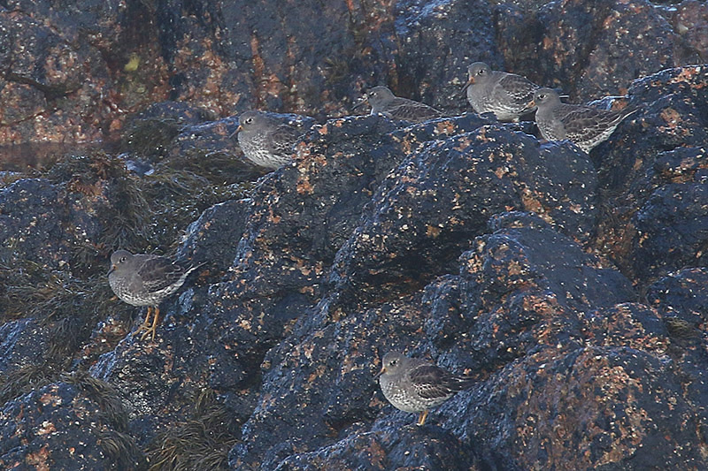 Purple Sandpipers by Mick Dryden
