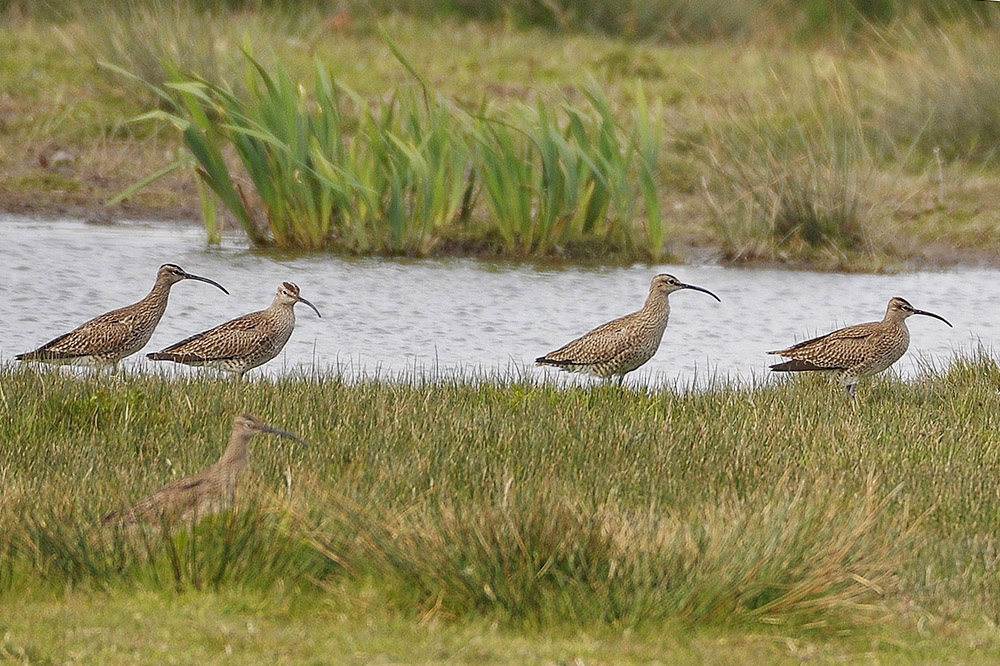 Whimbrels by Alan Gicquel