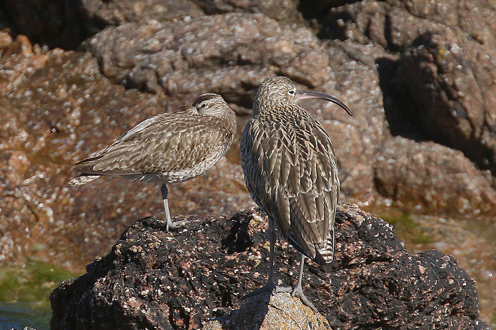 Whimbrel and Curlew by Mick Dryden