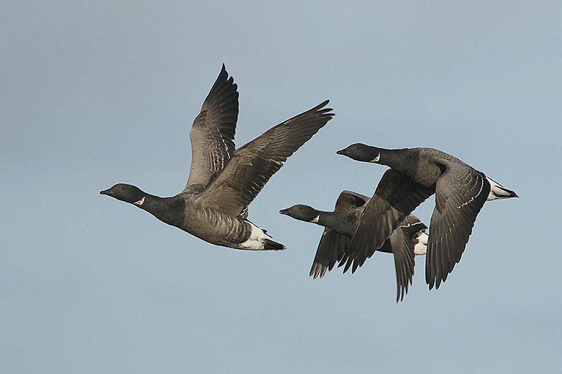 Brent Goose by Mick Dryden