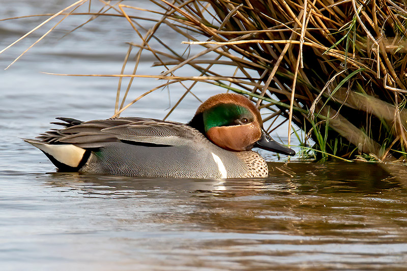 Green winged Teal by Romano da Costa