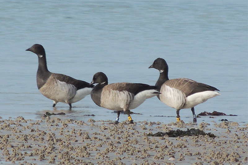 Brent Geese by Sarah Scriven