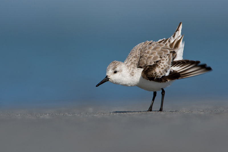 Sanderling by Romano da Costa