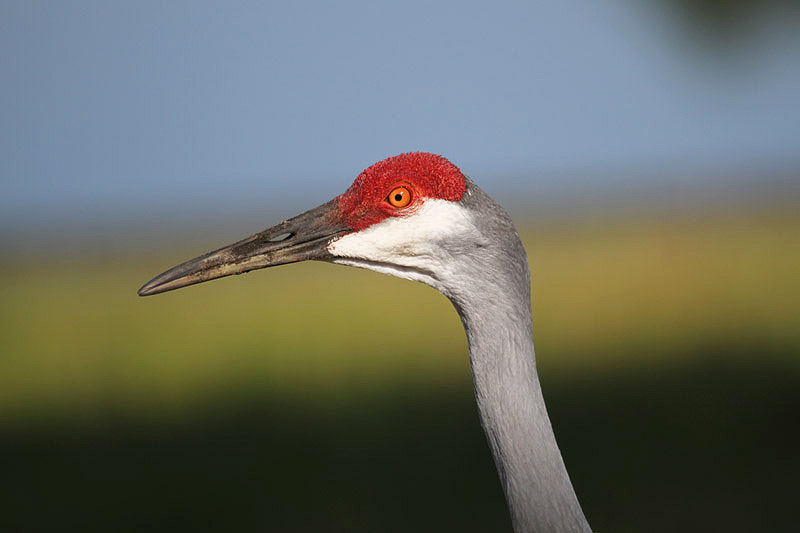 Sandhill Crane by Miranda Collett