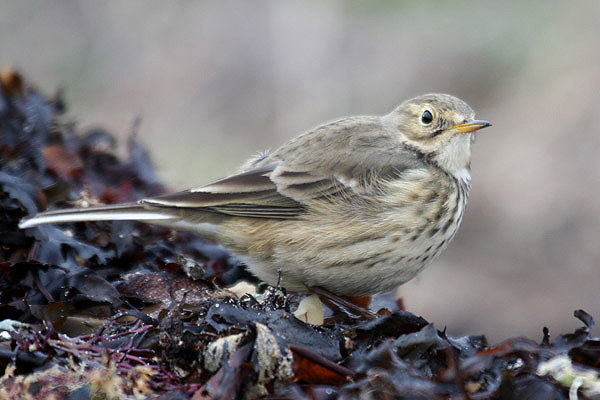 Buff-bellied Pipit by Mick Dryden
