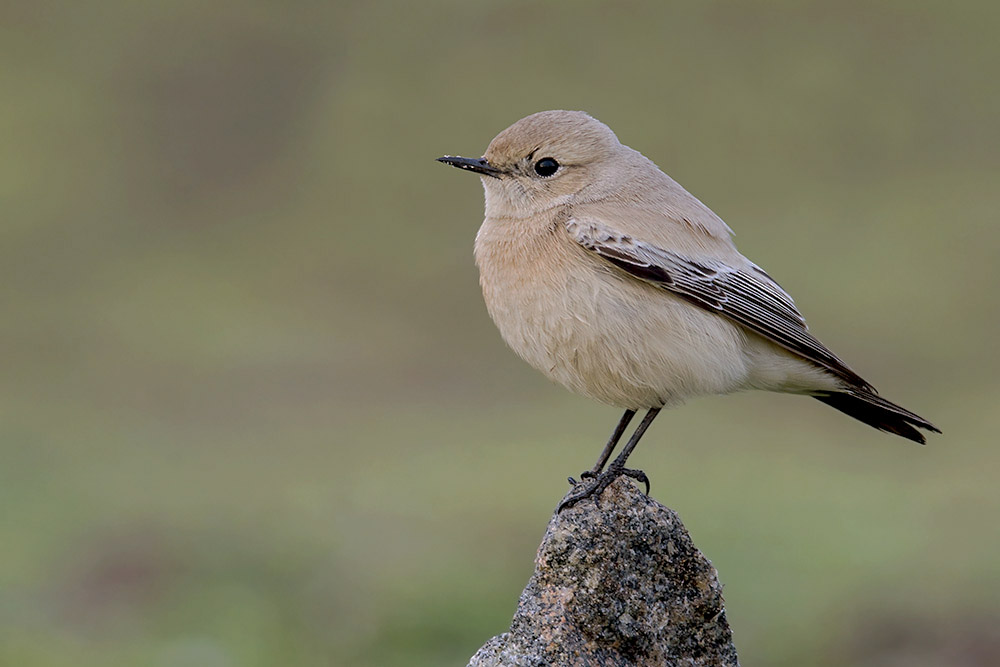 Desert Wheatear by Romano da Costa