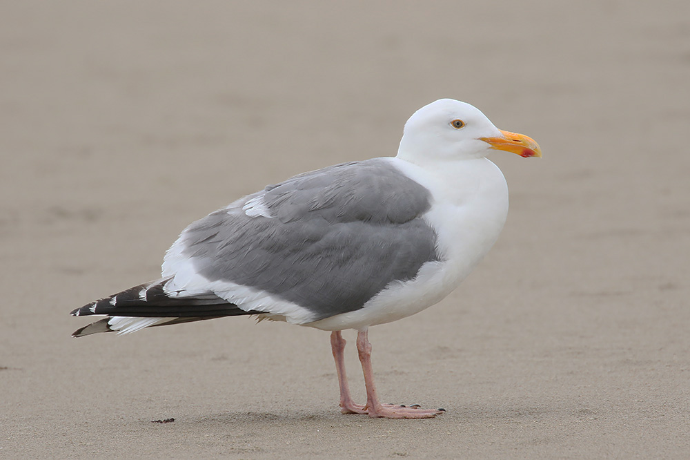Western Gull by Mick Dryden
