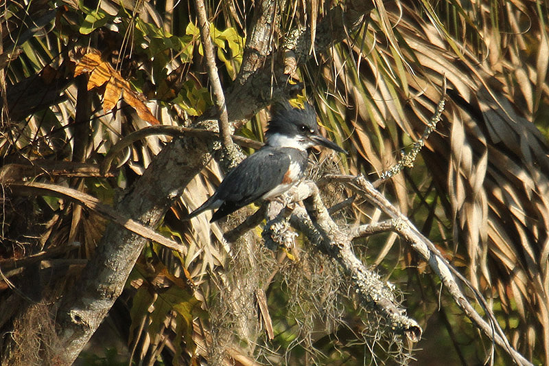 Belted Kingfisher by Mick Dryden
