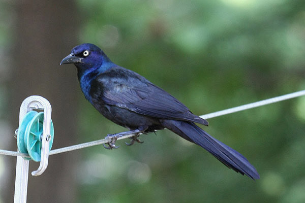 Common Grackle by Mick Dryden