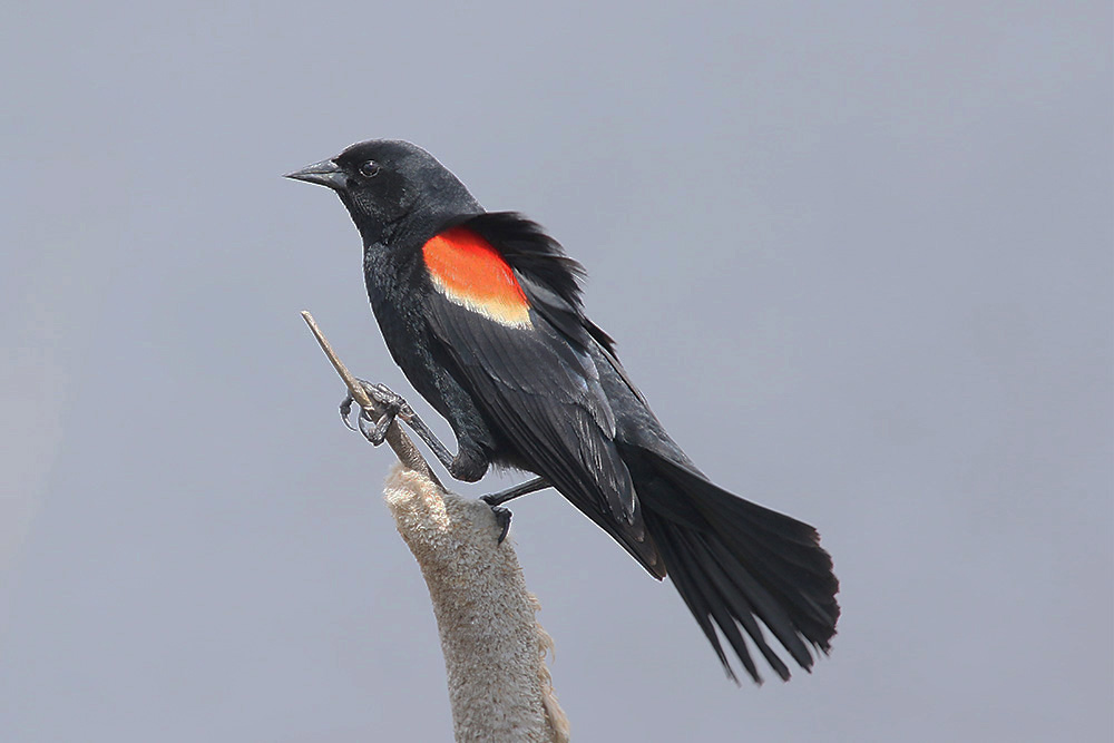 Red-winged Blackbird by Mick Dryden