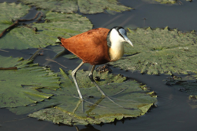 African Jacana by Mick Dryden