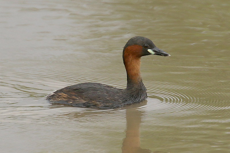 Little Grebe by Mick Dryden