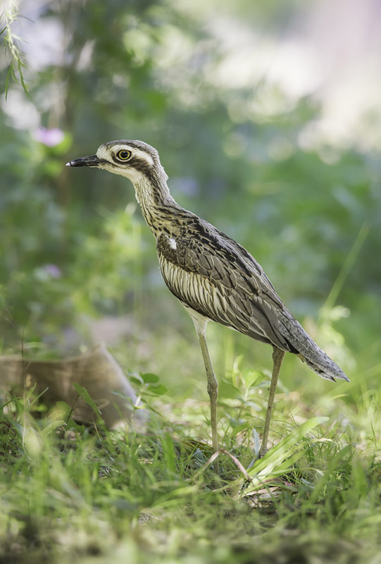 Bush Stone Curlew by Kris Bell