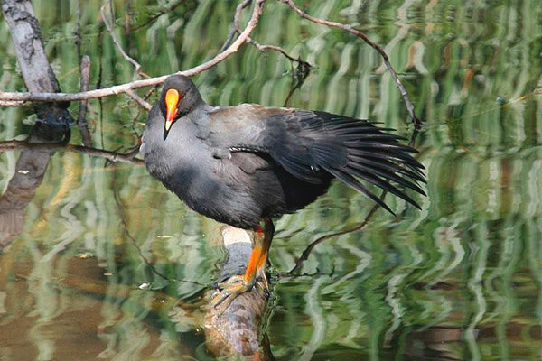 Dusky Moorhen by Bill Wood