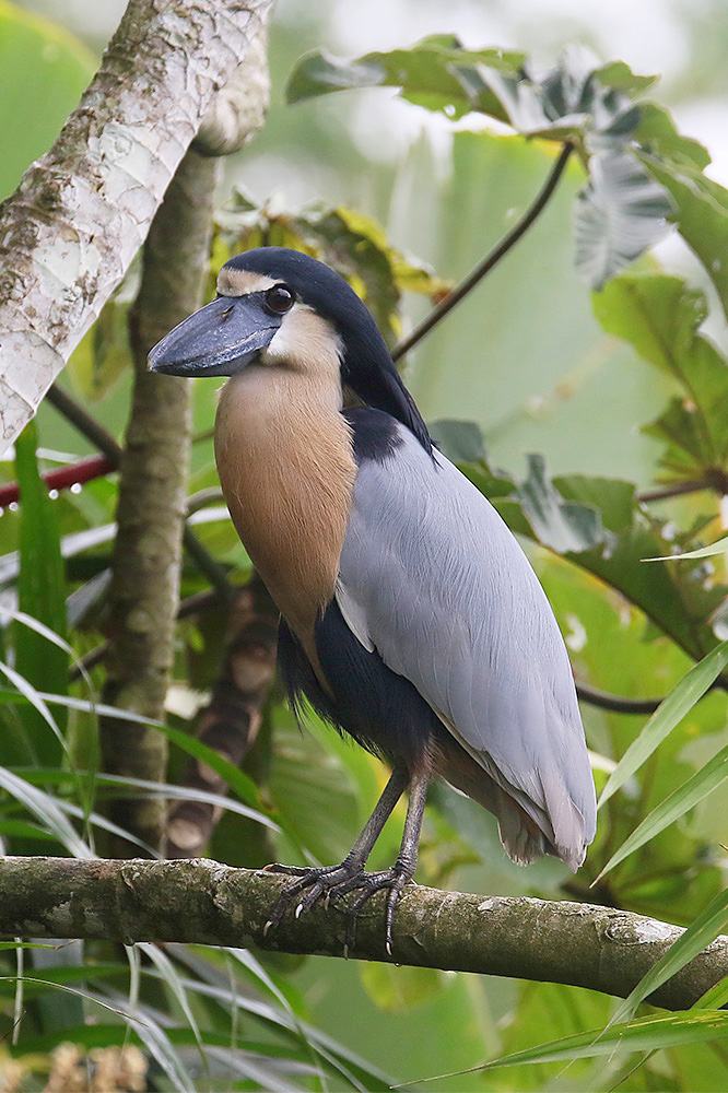 Boat-billed Heron by Mick Dryden