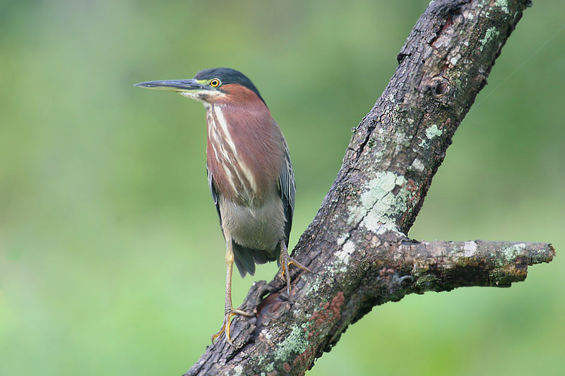 Green Heron by Mick Dryden