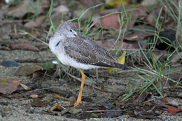 Greater Yellowlegs by Mick Dryden