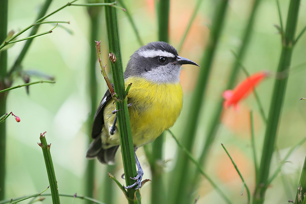 Bananaquit by Mick Dryden