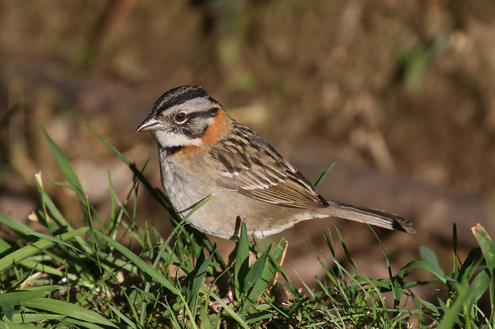 Rufous-collared Sparrow by Mick Dryden