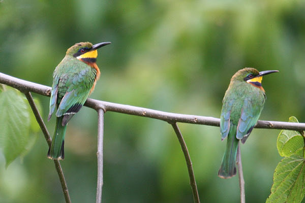 Cinnamon-chested Bee Eater by Mick Dryden