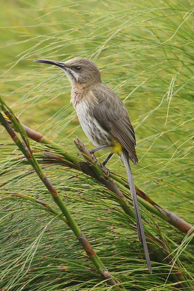 Cape Sugarbird by Mick Dryden