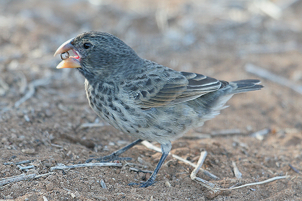 Large Ground Finch by Mick Dryden